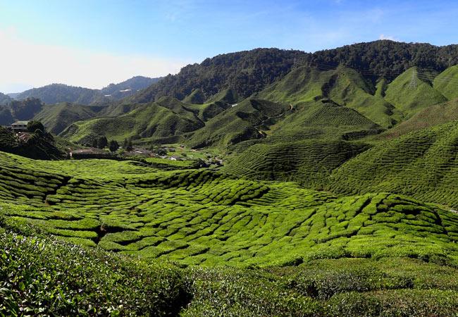 Peninsular Malaysia_Cameron Highlands